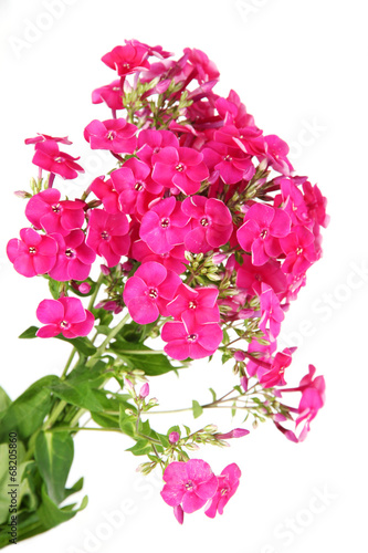 """""""Beautiful bouquet of phlox isolated on white"""" Imagens e ..."""