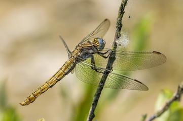 Gelbe Libelle