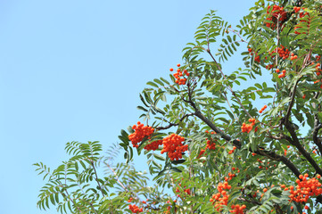 Orange rowan berries on a tree. Sorbus