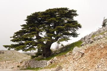 Libanesische Zedern