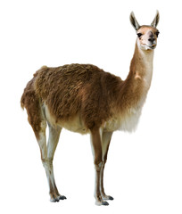 Poster Lama Standing guanaco