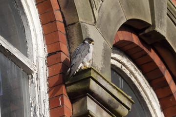 Fotoväggar - Peregrine, Falco peregrinus