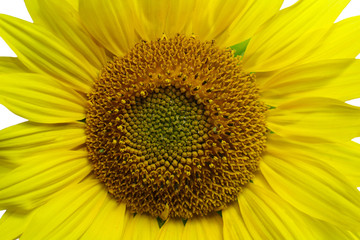 Flower of a sunflower