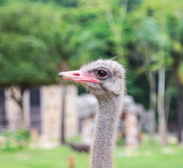 ostrich in the zoo.