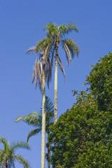 Palmeira do palmito jussara