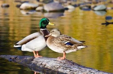 Pair of Mallard Ducks Resting in an Autumn Pond Wall mural