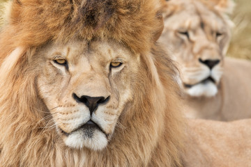 Fototapete - Vigilant lions