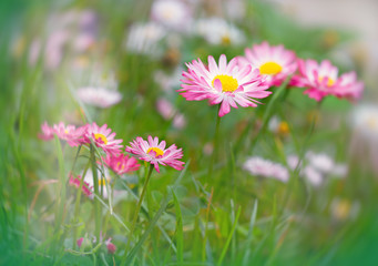 Daisy with white - pink petals