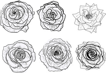 isolated six black and white rose blooms sketches