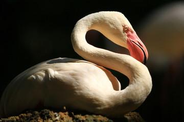 Flamingo isolate with black background.
