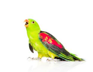 Screaming Red-Winged Parrot (Aprosmictus erythropterus) in profi