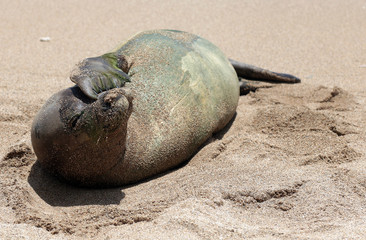Monk Seal, Hawaii