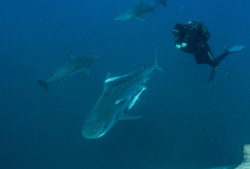 Fototapete - Diving with Sharks
