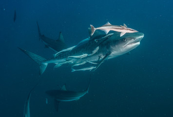 Fototapete - Tiger Shark with blacktip sharks