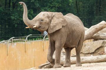 Foto auf Acrylglas Elefant Loxodonta africana, Afrika, Afrikaanse olifant,
