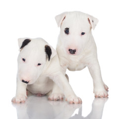 two white english bull terrier puppies