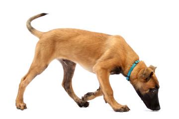 Tier Hund Welpe Malinois sucht Belgischer Schäferhund
