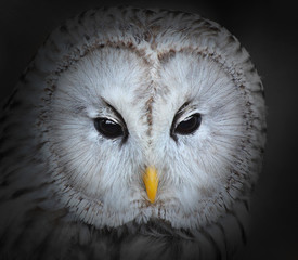Fototapete - The evil eyes. The Ural owl (Strix uralensis).