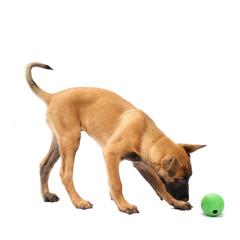 Tier Hund Welpe Malinois spielen Belgischer Schäferhund