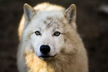 Portrait of Arctic wolf (Canis lupus arctos)
