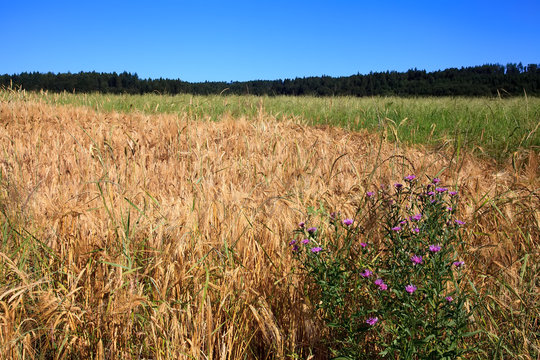 Mixed grain field with wildflower