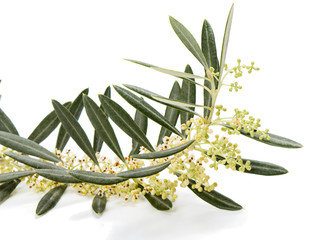 Olive twig  blossom
