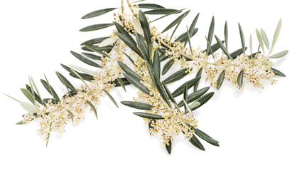 Blossom of olive