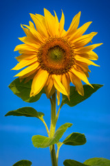 Sunflower on a sunny day with dew on petals