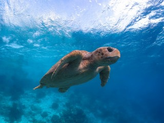 rare endangered Loggerhead Sea Turtle