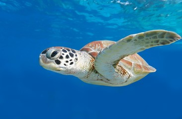 swimming green sea turtle on blue background