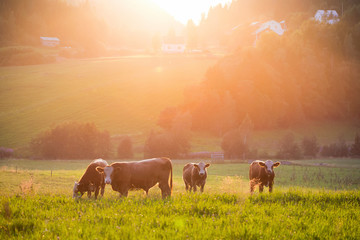 Livestock grazing during sunset in a valley