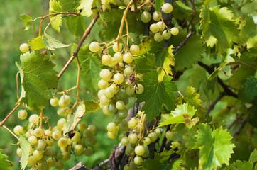 Fototapete - Grape clusters in summer