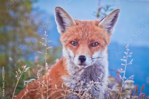 Fototapete Portrait of a Fox: a friendly poser