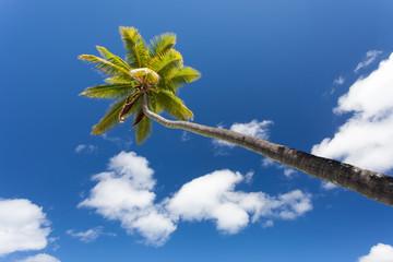 Palma con noci di cocco su cielo nuvoloso