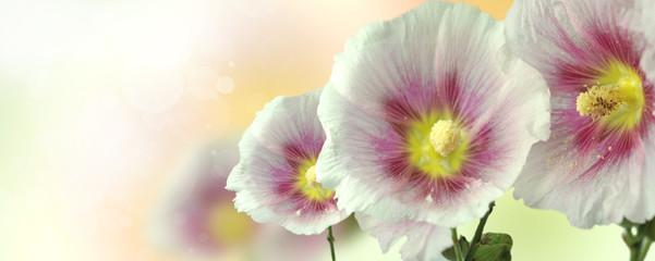 Obraz kwiat malwy - fototapety do salonu