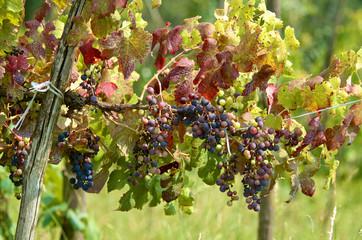 Fototapete - Grape cluster in summer