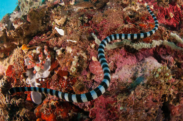 Aquatic sea snake is crawling above the various coral reefs