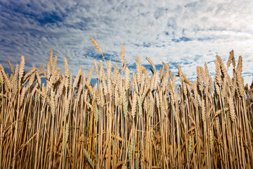 harvest under cloudy sky