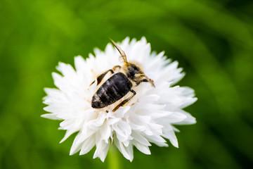 Weiße Kornblume / Biene Rückenansicht
