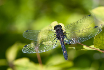 Dragonfly With Transparent Wings Perched on End of Twig
