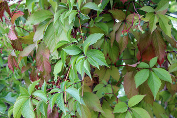 Wild Grape Background