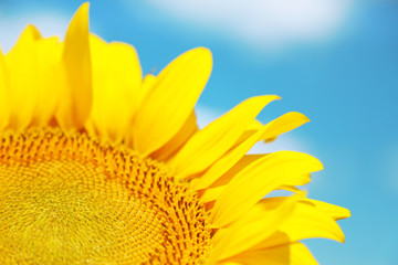 Beautiful sunflower on sky background
