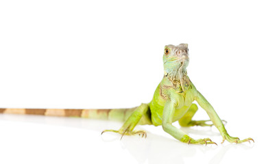 green iguana in front. isolated on white background
