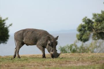 Warzenschwein in Uganda