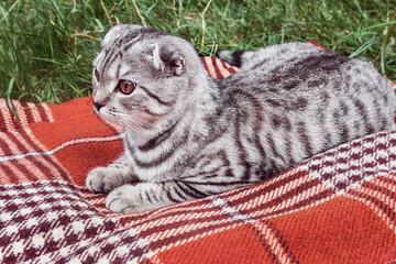Scottish Fold cat lying