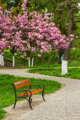blossomed sakura flowers over the bench