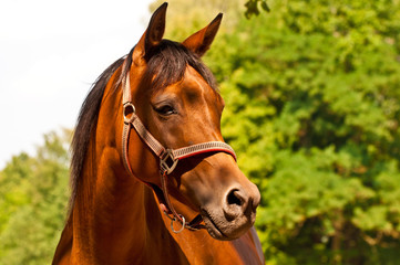 Brown - chestnut Arab horse portrait with copy space