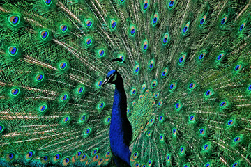 the peacock tail feathers