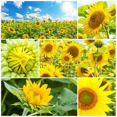 Wall Mural - Sonnenblumen im Sommer - Fotocollage