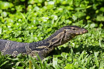 Monitor lizard,Varanus salvator.Lumpini park,Bangkok,Thailand